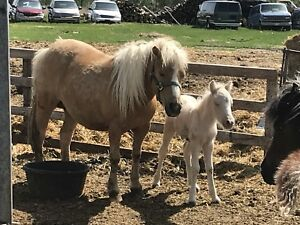 Pony with foal for sale