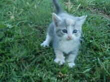 russian blue x ragdoll kittens Cowra Cowra Area Preview