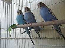 BABY BUDGERIGARS Riverwood Canterbury Area Preview