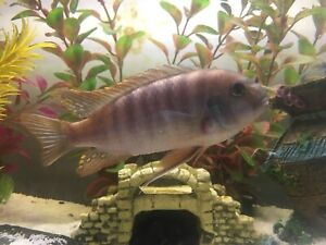 Ice Blue Zebra Cichlid for Adoption