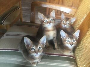 Chatons abyssin