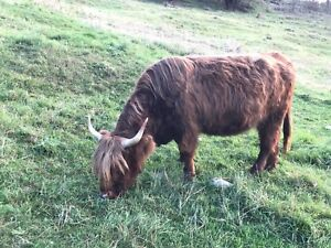 Scottish Highland cow for sale