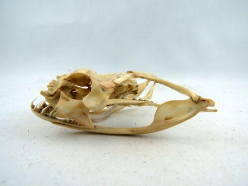 Gaboon Viper (Bitis gabonica) Snake Skull REAL GV41411 LARGE