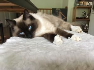 Lost cat from Nelson Rosemont area