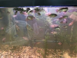 "Red jewel chiclids 1""-1  1/2"" for sale 778-215-2028"