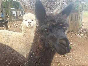 2 Entire Male Alpacas Landsborough Caloundra Area Preview