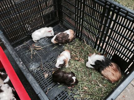 Handsome and cute guinea pigs West Ryde Ryde Area Preview