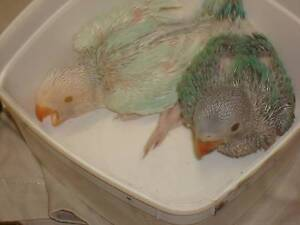 INDIAN RINGNECKS BABYS Coombabah Gold Coast North Preview