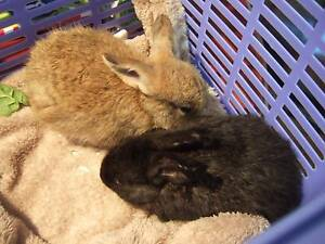 baby rabbitts Coffs Harbour Area Preview