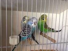 Baby English Bloodline Budgies for Sale - Direct from the Breeder Windaroo Logan Area Preview