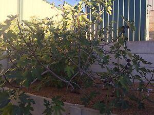 Figs Success Cockburn Area Preview