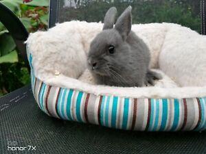 Netherland Dwarf baby rabbits