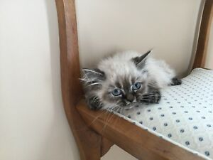 10 weeks old Himalayan kitten