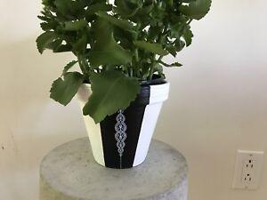 Plante Kalanchoe avec pot