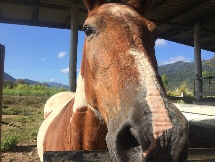 Companion Horse Kamerunga Cairns City Preview