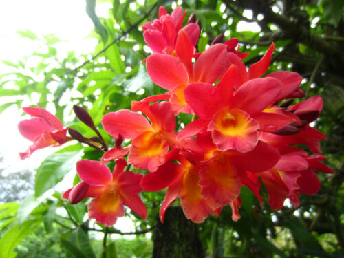 Ctph. Jamaica Fire - Bromocanthe Jamaican Fire orchid, EASY TO GROW!!!