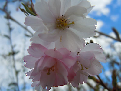10ft Prunus Amanagowa flowering cherry tree 20L pot  COLLECTION ONLY