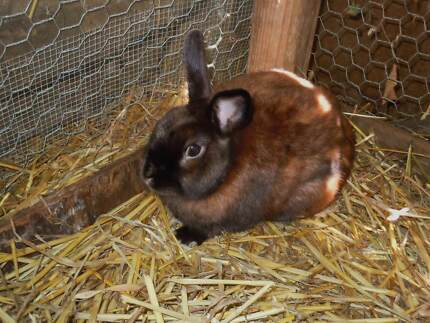 Mini lop and satin netherland rabbits