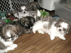 FIVE SHIH TZU PUPPIES 2 MALES 2 FEMALES ADOPTED ONE MALE LEFT