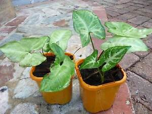 Syngonium for sale – perfect house plants or garden groundcover Subiaco Subiaco Area Preview