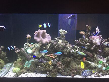 Marine Fish for sale Alkimos Wanneroo Area Preview