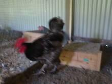 poultry moving sale Brisbane City Brisbane North West Preview