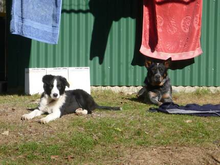 Border Collie male for sale Deviot West Tamar Preview