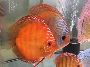 December Forest and Chan discus shipment- SALE ON NOW Como South Perth Area Preview