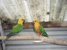Jenday conures Rokeby Clarence Area Preview