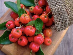 Barbados Cherry Tree  / Acerola Cherries  Glenorie The Hills District Preview