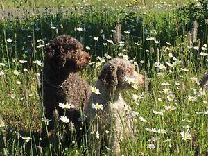 Lagotto puppies, the original labradoodle