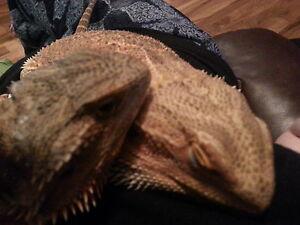 2 bearded dragons 2 seperate enclosures