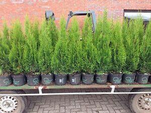 Edel Thuja Smaragd Lebensbaum,80-100 cm 3Liter Topf gewachsen Qualität