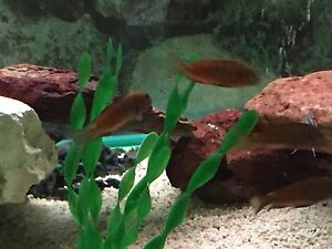 Cichlids for sale Werribee Wyndham Area Preview