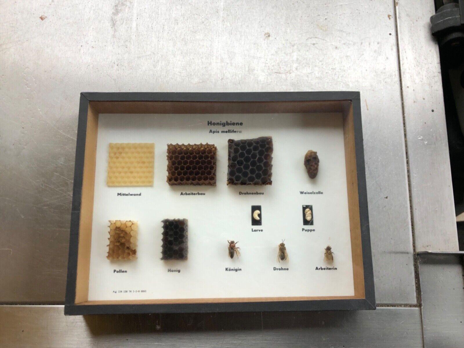 Bienen im Bienenstaat– Schaukasten mit Königin , Arbeitsbiene , Drohne