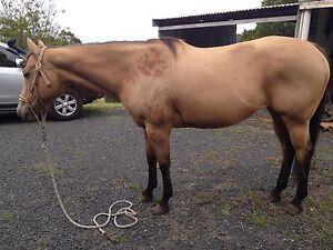 Buckskin mare for sale Churchill Latrobe Valley Preview