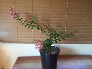 Crepe myrtle in flower for sale Matraville Eastern Suburbs Preview