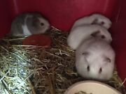 Baby Guinea Pigs for sale Attadale Melville Area Preview