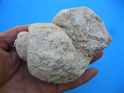 Texas Fossil Cretaceous age HUGE Gastropod Lunatia Pedernalis  Snail  # 1945