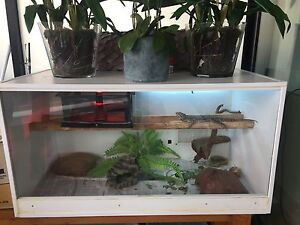 Central Bearded Dragon with enclosure Albert Park Port Phillip Preview