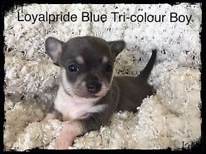 Chihuahua Puppies registered with Pedigree Papers Forest Lake Brisbane South West Preview