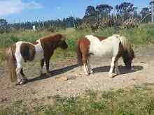 Miniture ponies for sale Mickleham Hume Area Preview