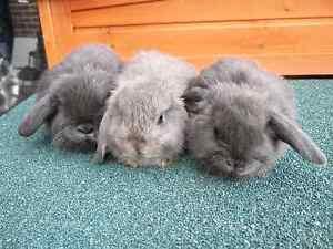 Mini Lop Rabbits Fawkner Moreland Area Preview