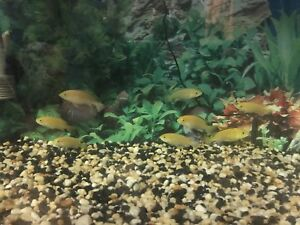 Yellow lab cichlids.