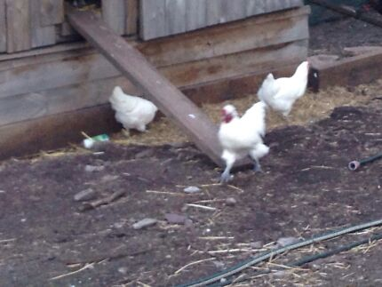 10 white Chooks / roosters Bridgewater Adelaide Hills Preview