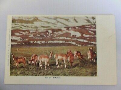 Yellowstone postcard - Berry Pub - No. 38 Antelope