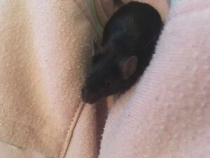 2 month old female mouse :)