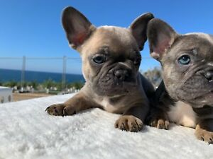 Rose Glen North Dakota ⁓ Try These French Bulldog Puppies