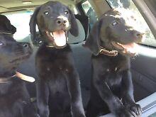 Labradors puppies for sale Regents Park Auburn Area Preview