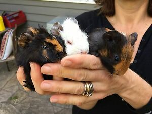 Guinea pigs - cute and free Elsternwick Glen Eira Area Preview